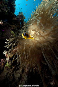Magnificent anemone taken at Ras Ghozlani. by Stephan Kerkhofs