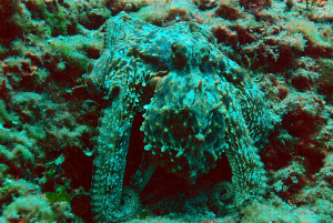 Octopus well camouflaged! by Andy Kutsch