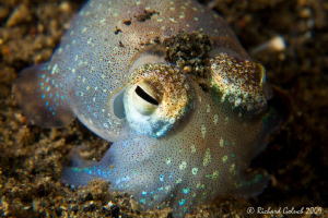 Lembeh-Bobtail Squid-night dive-Canon 50 D 100 mm macro+I... by Richard Goluch