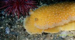 I noticed the huge orange peal nudibranch at first and wa... by Lyndell Weldon