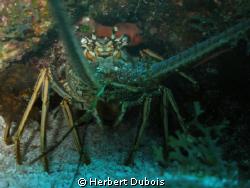 Lobster Close up by Herbert Dubois