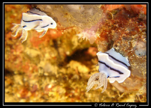 Upside down nudibranches ! by Raoul Caprez