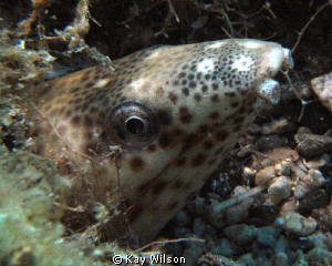 Black Spotted Eel, Sea and Sea DX1G / YS110a by Kay Wilson