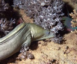 Dinner. Moray about to snack on parrot fish.Night dive Re... by Chris Kennedy