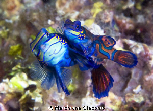 Lovers Nikon D200, twin strobo, 105 micro nikkor Lembeh... by Marchione Giacomo