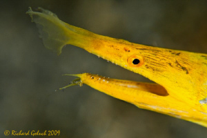 Portrai of Yellow Ribbon Eel-Lembeh-Canon 50 D 100 mm mac... by Richard Goluch