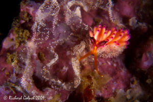 Lembeh-Flabellina with eggs[length of the specie approx. ... by Richard Goluch
