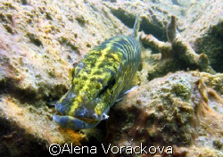 Czech fresh water pond... early spring and this pike was ... by Alena Vorackova