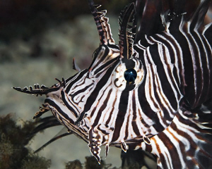 """""""Lionfish""""  from El Quadim Bay, El Quseir. by Henry Jager"""