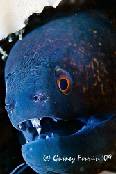 A moray eel that posted for me showing off it's pearly wh... by Gurney Fermin