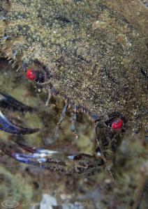 Velvet swimming crab. Menai straits. D3, 105mm. by Derek Haslam