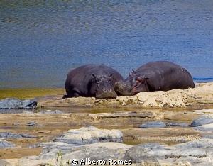 Sleeping hippo in Krugher park. by Alberto Romeo