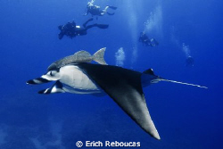 Manta and divers, Ras Ghozlani, Ras Mohamed Park by Erich Reboucas