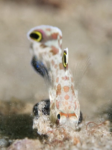 """""""Jump into the Sand""""  A signal gobi is """"diving"""" in the ... by Henry Jager"""