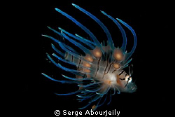 Juvenile Lionfish by Serge Abourjeily