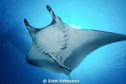 Manta close-up with a remora getting a ride.