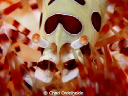 Colman Shrimp on a Fire Urchin...Not Cropped :-) by Chad Ordelheide