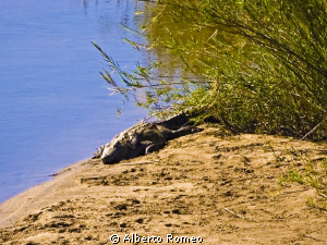Sleeping crocodile in Kruger Park by Alberto Romeo