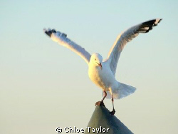 Seagull, Geraldton by Chloe Taylor