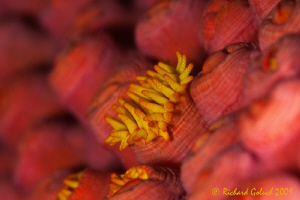 Raja Ampat-Tentacles on the polyps-Canon 50 D 100 mm macr... by Richard Goluch
