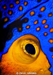Golden Blenny.  Picture is actually a cropped eye of the ... by Dave Johnson
