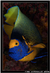 My only decent angelfish shot Fuji S5 pro/60mm by Yves Antoniazzo