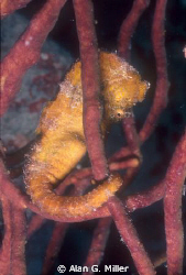Seahorse, shot with a Nikonos RS and 50 mm Macro, 2 Ikeli... by Alan G. Miller