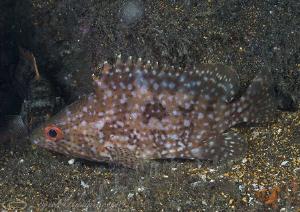 Reef fish. Night dive. Galapagos. D200, 60mm. by Derek Haslam