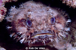 Queensland Toadfish, taken with my FujiS2pro, 60 mm lence... by Rob De Vries