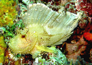 Leaf Scorpion Fish. Canon G10 by Malia Beggs