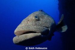 Giant grouper on the wall at Shark Reef. Is she just che... by Erich Reboucas