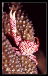 Red-spotted Crab.Nikon F100,60mm,f11,1/125,YS-120,RVP 100 by Allen Lee
