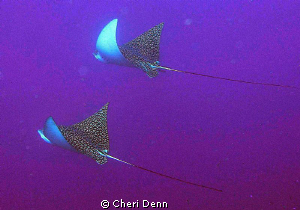 Spotted Eagle Rays are such a beautiful sight.  Taken wit... by Cheri Denn