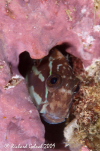 """ Blenny in a pink house""-Raja Ampat by Richard Goluch"