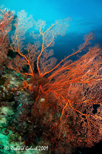 Large Gorgonian Sea Fan-Raja Ampat-Canon 5D MK II-15 mm f... by Richard Goluch