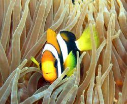 """Clownfis"", Ningaloo Reef by Penny Murphy"