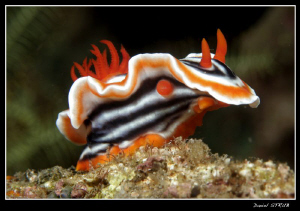 Chromodoris magnifica ... ready fot the big jump ... by Daniel Strub