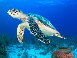 Hawksbill. Photograph taken during a dive in French Cay,... by David Gallardo