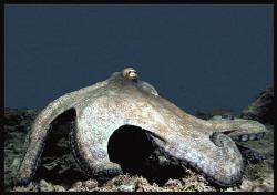 Reef Octopus by Thomas Dinesen