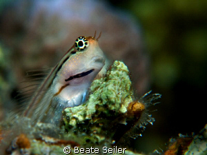 Redlip Blenny , taken with Conon G10 and UCL165 by Beate Seiler