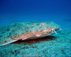 Top model Angel shark by Borja Muñoz