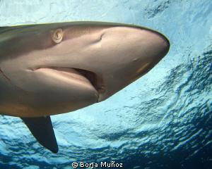 Silky shark by Borja Muñoz