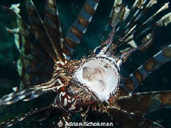 Lion Fish Up Close & Personal. Taken at Komodo Island Ind... by Adrian Schokman