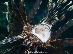 Lion Fish Up Close & Personal. Taken at Komodo Island Ind... by Adrian Schokman