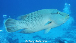 napoleon wrasse by Tony Anderson