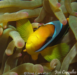 Anemone fish, Carnatic Wreck, Red Sea. by José Carvalho