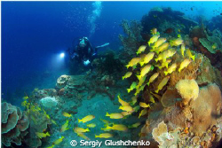 Yellow fishes. Raja Ampat. by Sergiy Glushchenko