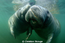 Manatee Love in Crystal Springs. Cute and cuddly animals! by Christian Skauge