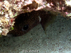 Rare spotted burrfish trying to stay hidden. by Bj Arnold