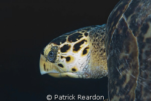 Close up of turtle taken in Grand Cayman with 105 macro. by Patrick Reardon